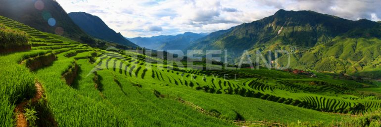Sapa terrace paddy field